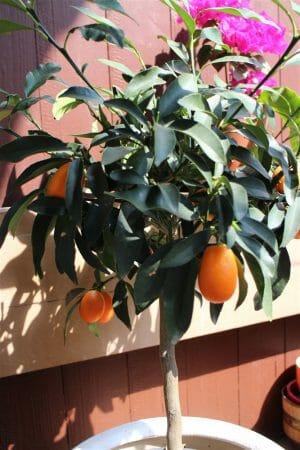 Kumquatbäumchen